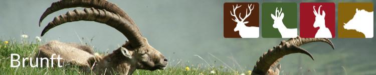 Brunft in der Jägersprache