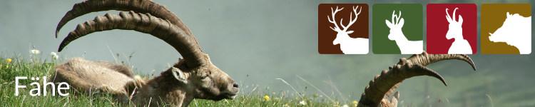 Fähe in der Jägersprache