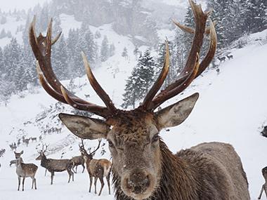 Rotwild in den Alpen